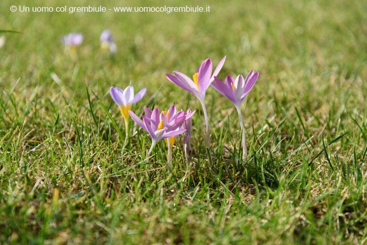 Quando e come piantare i bulbi di crocus - Bulbi estivi quando piantarli ...
